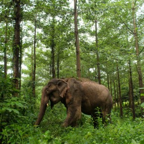 Ngor : Elephant of the Week at Boon Lott's Elephant Sanctuary : Remember Me