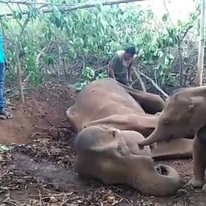 Video Moment :  Baby Indian Elephant Doesn't Understand its Mother Will Soon Succumb to Her Injuries as Calf Strokes Dying Elephant Whom Villagers Had Tried So Hard to Save