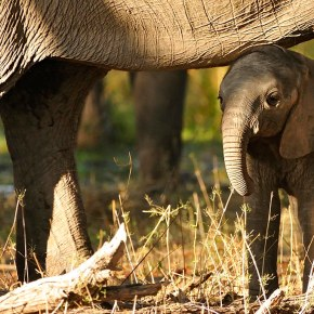 "Video Moment : ""Baby Elephant's First Water"" from  The Long Walk Home   BBC Earth  Part 1"