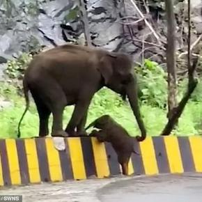 Video Moment :  I Would Never Leave You Behind : Mama Elephant Helps Her Baby Over Barrier Next to Road in India
