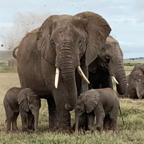 A Look at the History of African Elephant Twins & Their Elephant Families in Amboseli