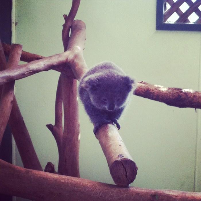 little Archer koala