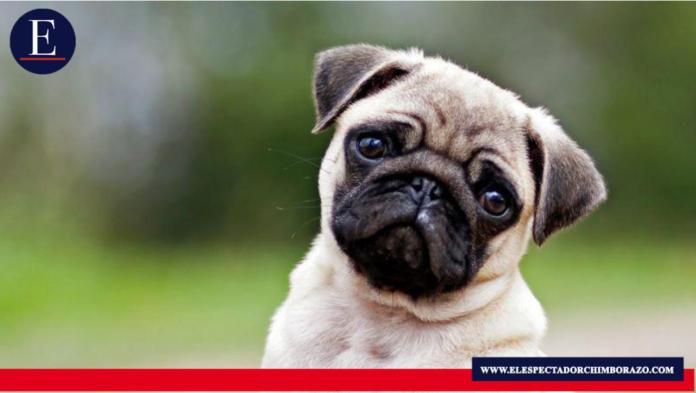 Un pequeño músculo en torno a los ojos de los perros evolucionó para que estos animales tengan expresiones similares a las de un niño. Foto / Fuente: BBC News.