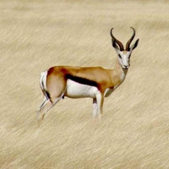 Dél-Afrika springbok, vándorantilop