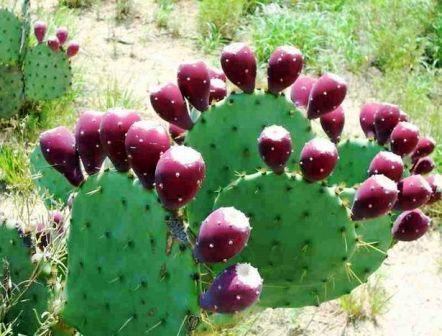 Kaktusz a konyhában - kaktusz levél és gyümölcs