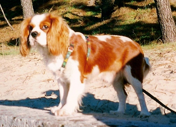 corp cavalier king charles