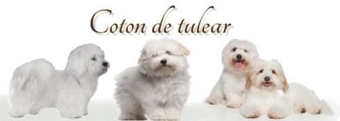 coton-de tulear