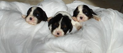 chiots cavalier king charles tricolore 1 mois