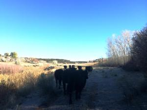 Bringing Cedar Mesa cows home from summer pasture.