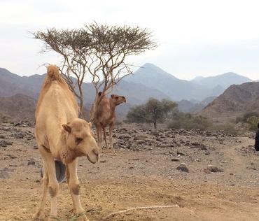 camels in wadi modaynah ras alkhaimah showka