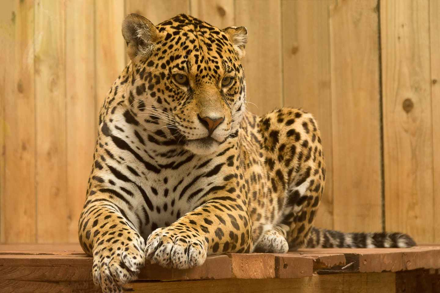 A leopard relaxing - zoos and aquariums