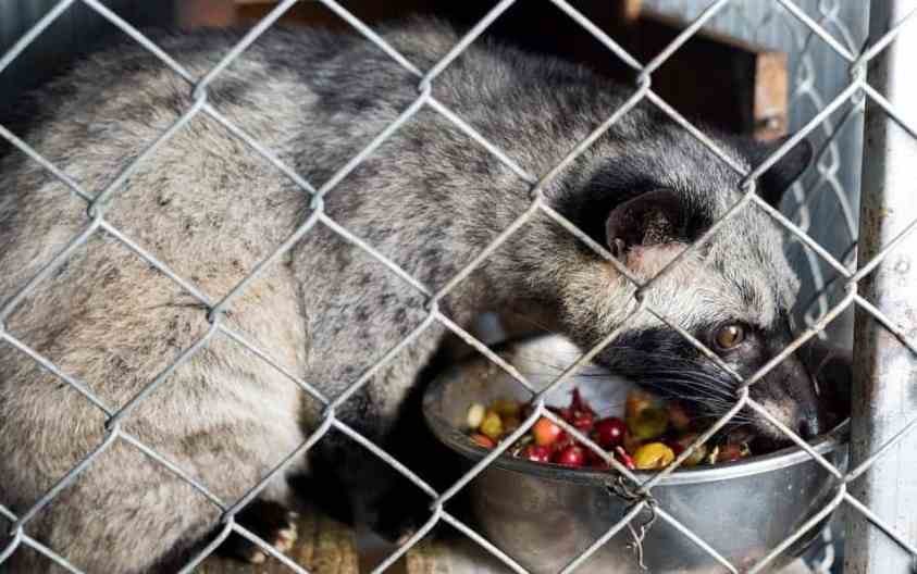 Luwak / civet in cage | Ummi Goes Where?