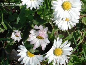 Blumenelfe auf Gänseblümchen
