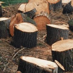 Para obtener apoyos económicos del programa 'Sembrando Vida', talan árboles en veracruz.