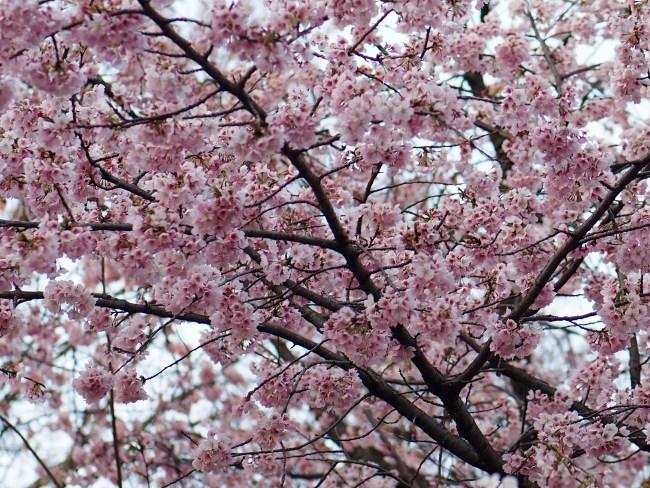 桜咲く、大寒桜12