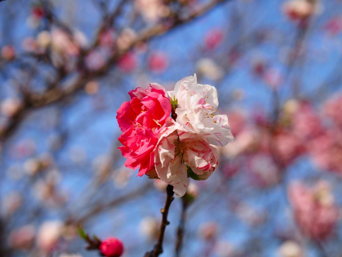 春の草樹花その4 二輪草が咲きました。