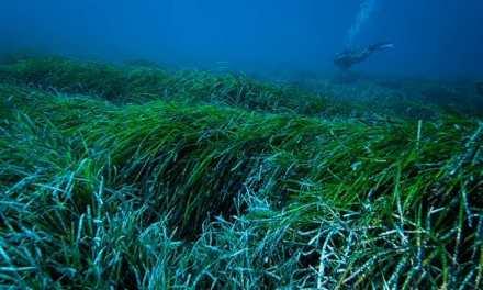 Las praderas marinas de posidonia, ¿una defensa contra los plásticos vertidos al mar?
