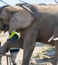 Dos elefantas disfrutan de una sesión de pedicura en un zoológico