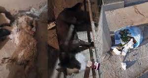 Investigan envenenamiento masivo de perritos en Fracc Juan Pablo