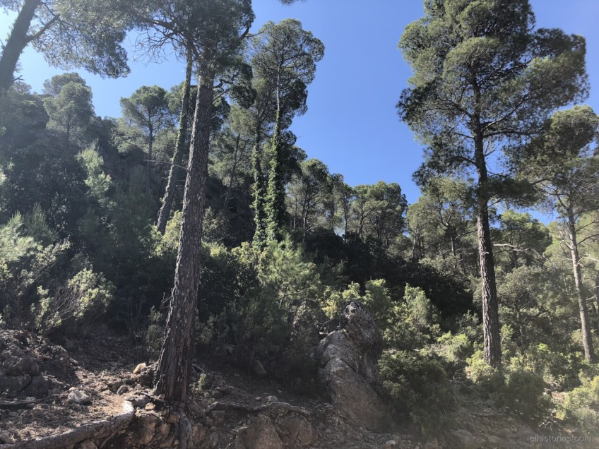 Enredaderas en los troncos de los pinos