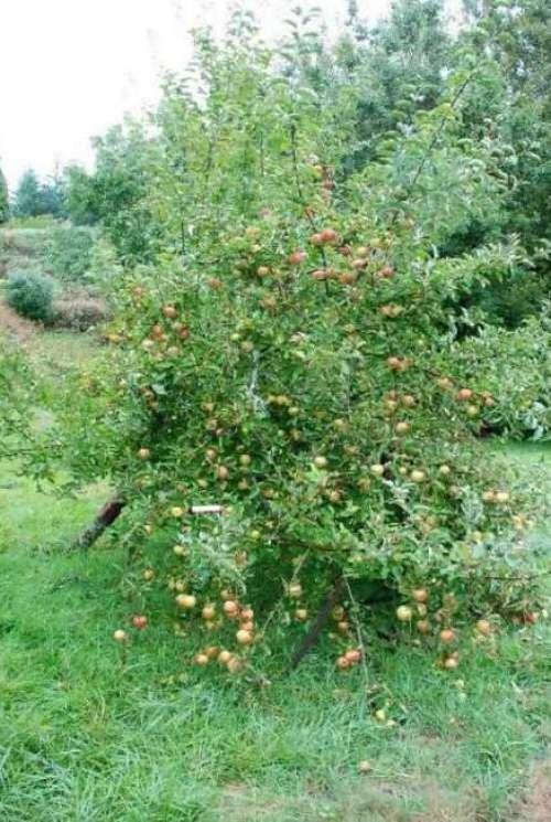Manzano de semilla