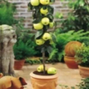 Cómo cultivar Árboles Frutales en Macetas