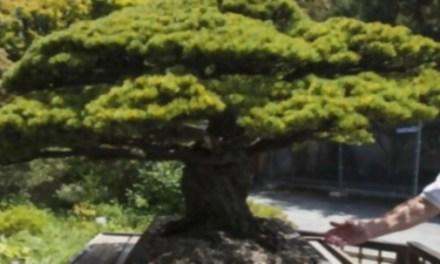 El bonsái de 390 años que sobrevivió a la bomba de Hiroshima