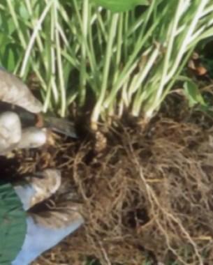 10-tips-para-la-division-de-plantas-perennes-13