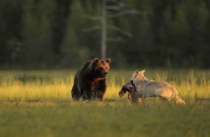 rare-animal-friendship-gray-wolf-brown-bear-lassi-rautiainen-finland-101