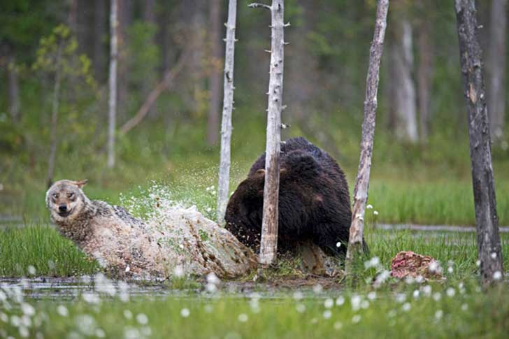 rare-animal-friendship-gray-wolf-brown-bear-lassi-rautiainen-finland-151