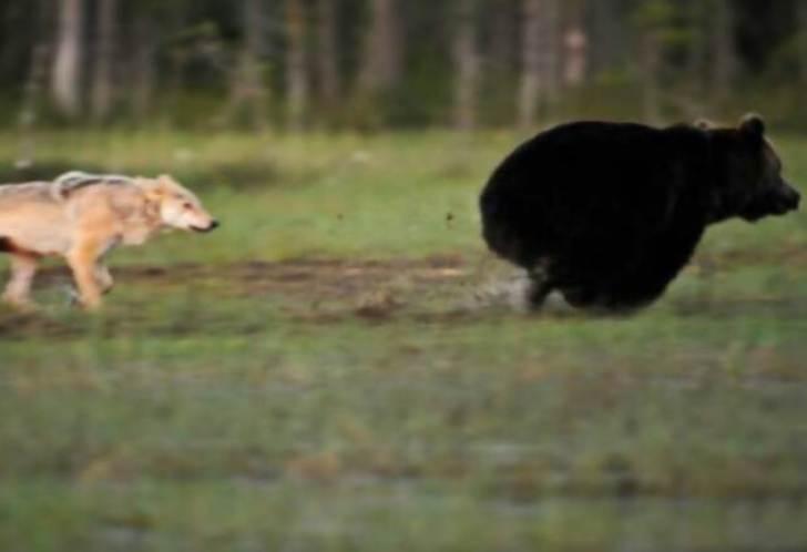 rare-animal-friendship-gray-wolf-brown-bear-lassi-rautiainen-finland-21