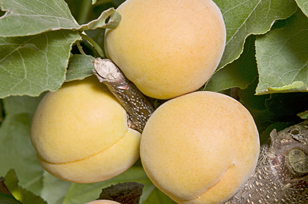 Top 10 Fruit Trees for Small Spaces: Apricot
