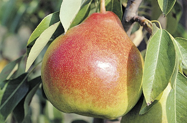 Top 10 Fruit Trees for Small Spaces: Pear
