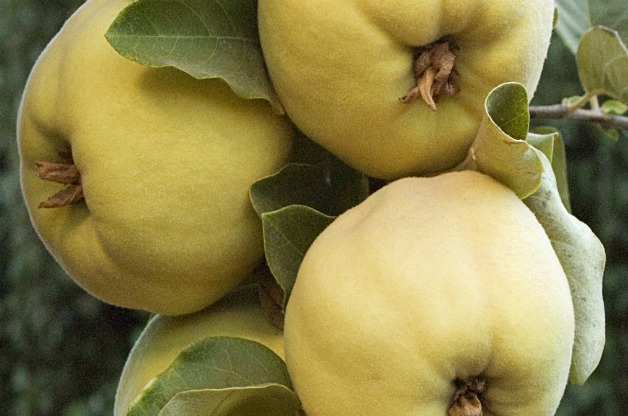 Top 10 Fruit Trees for Small Spaces: Quince