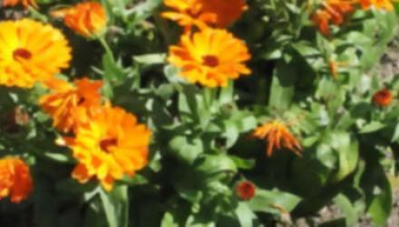 15 plantas protectoras repelentes de insectos para nuestro jardin
