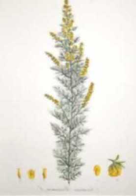 http://wisflora.herbarium.wisc.edu/spec_images/photos/ARTABR_.jpg