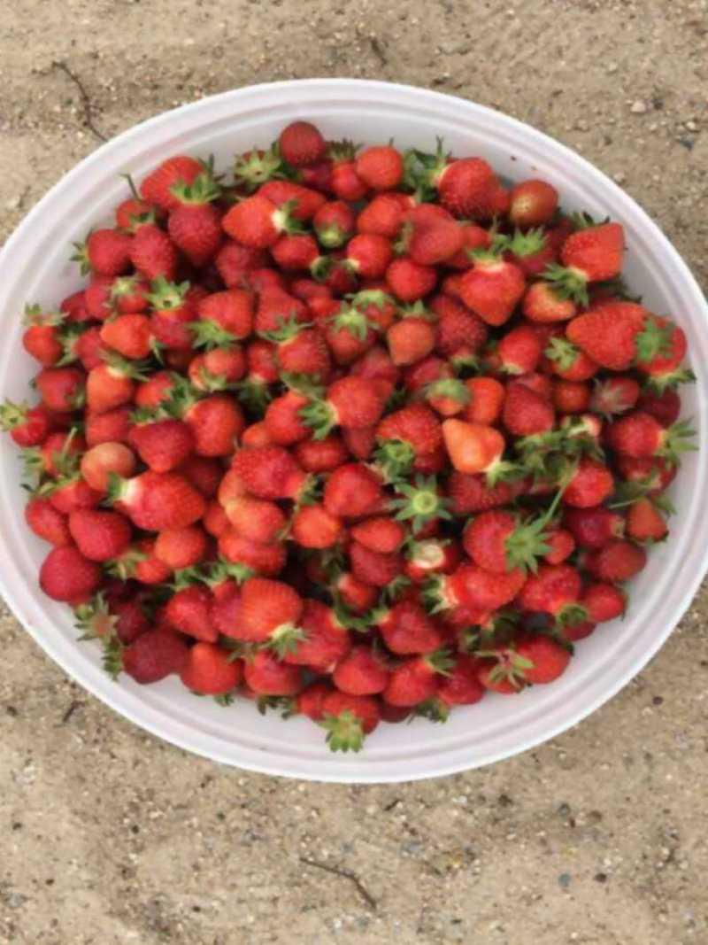 Cultivando fresas