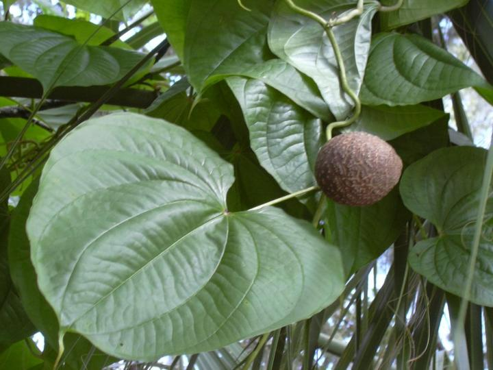 https://upload.wikimedia.org/wikipedia/commons/7/75/Starr_031108-0225_Dioscorea_bulbifera.jpg