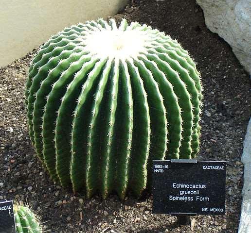 Cactus grusonii sin espinas