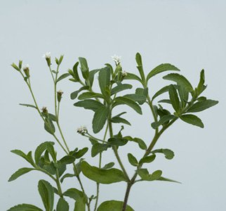 Stévia planta medicinal Resumen de propiedades de la Estevia