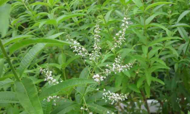 Beneficios y Propiedades medicinales del Cedrón