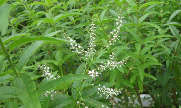 Cedrón: Beneficios, Usos y Propiedades medicinales