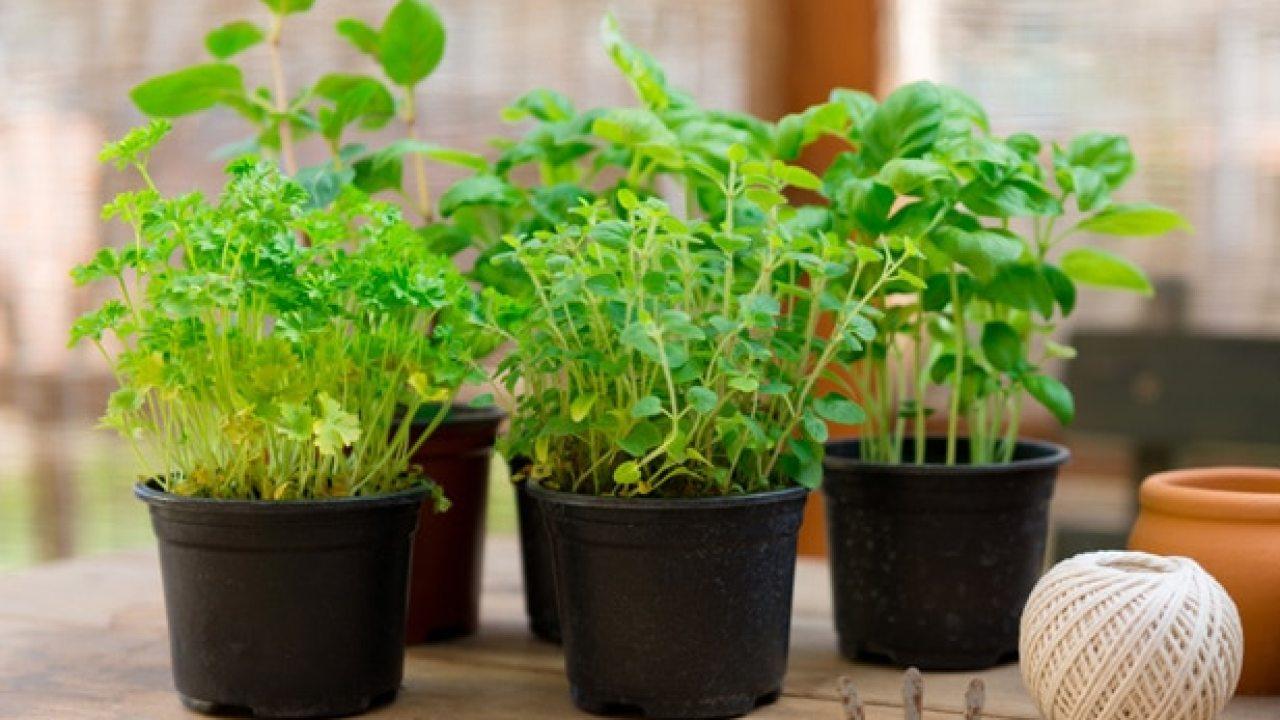7 Hierbas Aromáticas Fáciles De Cultivar En Casa El Horticultor