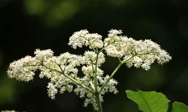 Propiedades y Beneficios de la Flor de Saúco