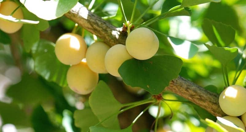 Beneficios del Ginkgo Biloba en enfermedades como el Alzheimer y la demencia