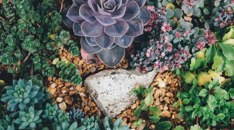 , Suculentas: conozca las principales variedades y cómo cultivarlas