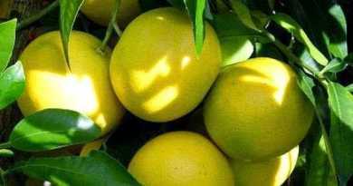 propiedades limón, Las propiedades Curativas del Limón y sus Beneficios para la Salud