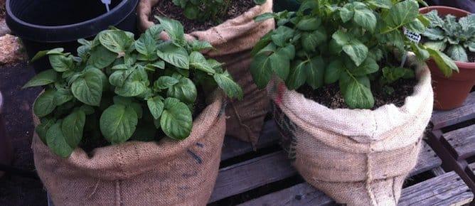 Como plantar patatas en bolsas paso a paso