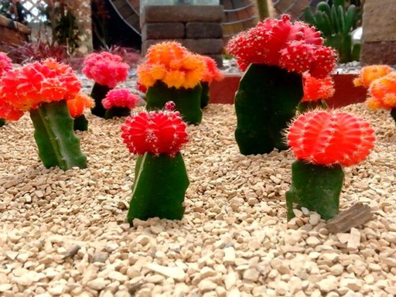 Diferentes tipos, especies y clases de Cactus