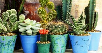 , Diferentes tipos, especies y clases de Cactus y su cultivo